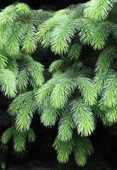 spruce tree at spring