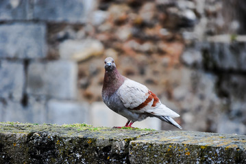 pigeon in old town