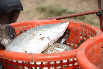Big fish on the orange basket