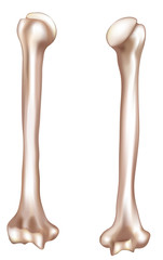 Human arm- Humerus. Medical illustration.