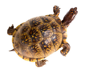 Three-toed Box Turtle (terrapene carolina triunguis) goes. Top v