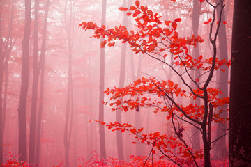 Poster Candy pink Foggy autumn day into the forest