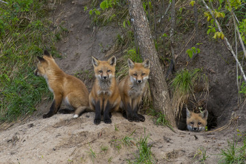 Litter of Red Foxes