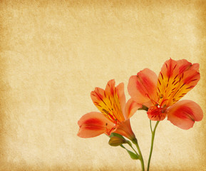 Old paper background with alstroemeria.