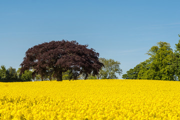 copper beech tree in field of oilseed rape