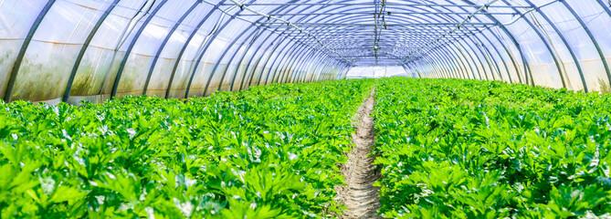 Fototapeta inside view of an greenhouse where grows celery obraz