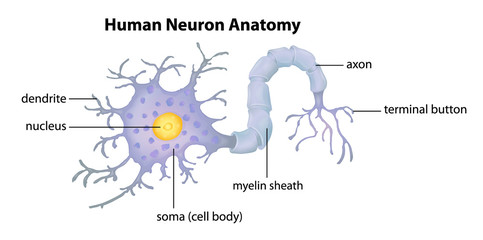Human Neuron Anatomy