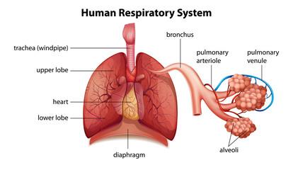 Human respiratory system