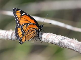 Viceroy Butterfly in Eastern Washington