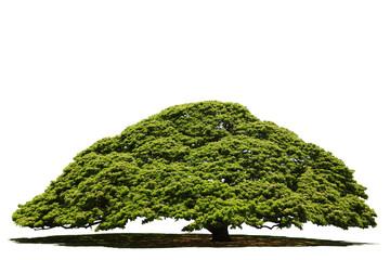 大木/切り抜き画像