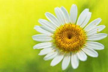 Daisy flower on yellow