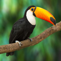 Photo sur Plexiglas Toucan Toucan