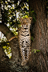Leopard on the lookout.