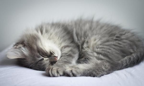 Cute furry grey kitten sleeps on a pillow