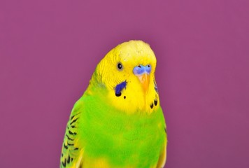 Yellow-green budgerig  parrot close-up
