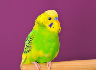 Yellow-green budgerig parrot closeup perched on a stand
