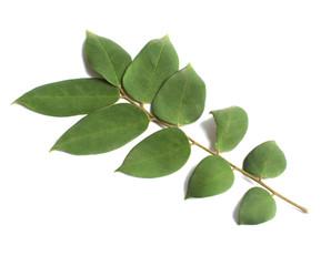leaves of boroi leaves