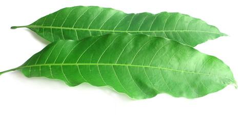 leaves of mangoo tree