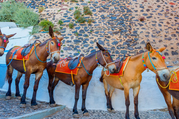 Fototapete - Greece Santorini island in Cyclades donkeys of the islands are u