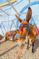 Wall Mural - Greece Santorini island in Cyclades donkeys of the islands are u