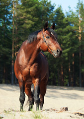Beautiful Trakehner stallion in pine forest