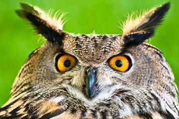 Eurasian Eagle-Owl