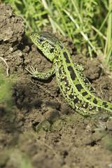 Lacerta agilis chersonensis / sand lizard, male