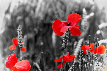 Poppy - For Remembrance Day