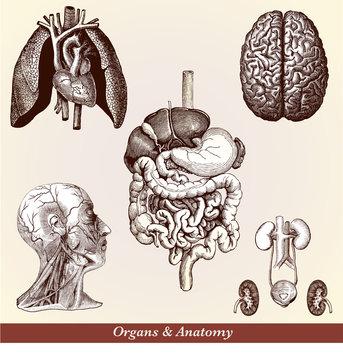 Organs & Anatomy