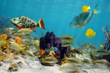 Underwater life with colorful tropical fish around branching tube sponge on seafloor of the Caribbean sea