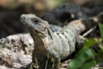 Spiny-tailed Iguana in Cozumel