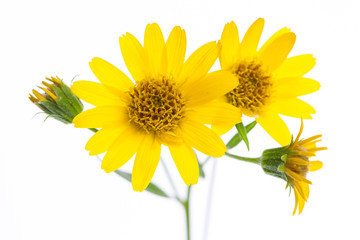 Fototapeta Arnika (Arnica montana) Blüten im Detail obraz