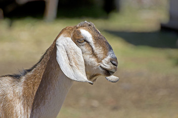 Side profile head of a nubian goat facing right