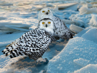 Snowy Owl  at ice area