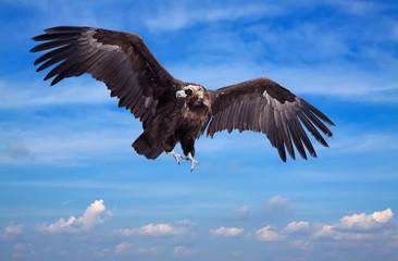 Flying black vulture