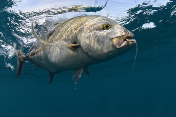 Bluefin trevally caught in ocean with a hook