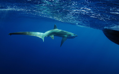 thresher shark swimming in ocean underwater