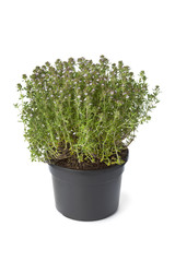 Pot of flowering thyme