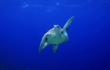 Pick me! High Five! Green Sea Turtle making a turn
