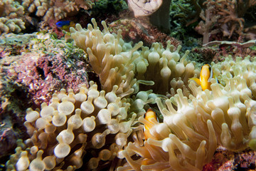 Clown fish in anemone in Raja Ampat Papua, Indonesia