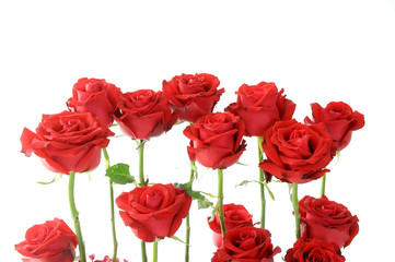 Red roses on white background