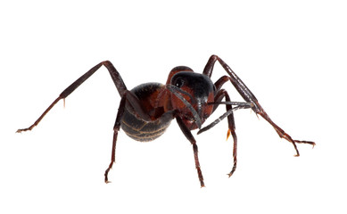forest brown isolated ant