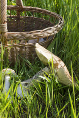 Basket with mushrooms in the grass