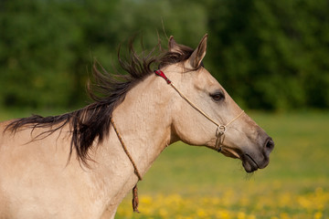 Beautiful Akhal-Teke horse