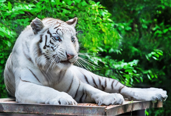White tiger rests