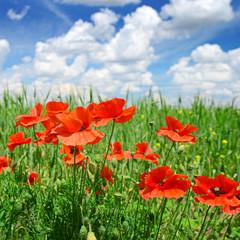 Fototapete - poppies on green field