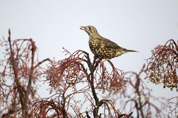 Fotoväggar - Moorhen, Gallinula, chloropus,  bird , snow, nature, uk, british