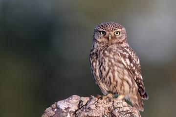 Fotoväggar - Little owl, Athene noctua,
