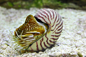 nautilus shell underwater