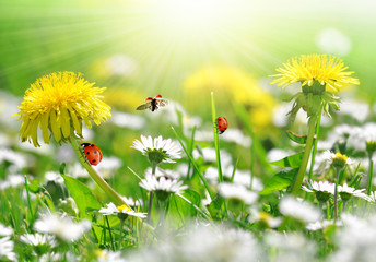 Photo sur Aluminium Coccinelles dandelions and daisy with ladybugs in the meadow